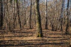 bosque Bien-condicionado del abedul cerca de Moscú en spr temprano despejado Imagen de archivo