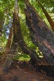 Bosque Big Sur Califórnia da sequoia vermelha da floresta nacional dos capelães do Los Imagem de Stock