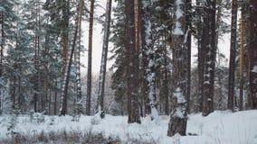 Bosque blanco escarchado del invierno fabuloso con los troncos de árbol oscuros almacen de metraje de vídeo