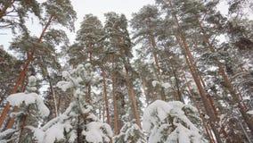 Bosque blanco escarchado del invierno fabuloso con los troncos de árbol oscuros almacen de video