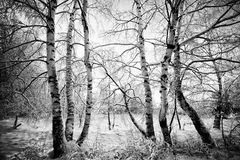 Bosque en blanco y negro Imágenes de archivo libres de regalías