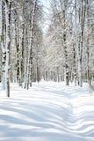 Bosque bonito do vidoeiro de abril Imagens de Stock Royalty Free