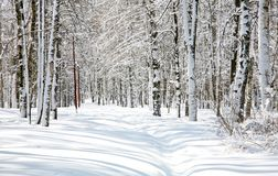 Bosque bonito do vidoeiro em abril Foto de Stock