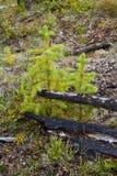 Bosque boreal quemado Foto de archivo libre de regalías