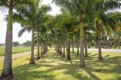 Bosque brilhante de palmeiras altas fotografia de stock royalty free