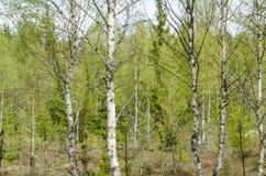 Bosque brillante del árbol de abedul Imágenes de archivo libres de regalías