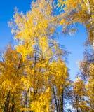 Bosque brillante del abedul amarillo Fotos de archivo libres de regalías