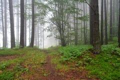 Bosque brumoso del pino imágenes de archivo libres de regalías