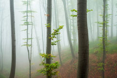 Bosque brumoso en la cuesta de montaña Fotografía de archivo libre de regalías