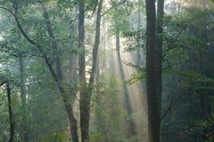 Bosque brumoso en la mañana Imagen de archivo