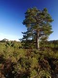 Bosque caledonio Escocia Fotos de archivo libres de regalías
