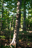 Bosque canadiense por la mañana Imagenes de archivo