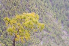 Bosque canario del árbol de pino Imagenes de archivo