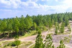 Bosque cerca de la tonalidad, Vietnam del pino foto de archivo