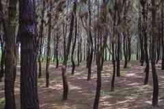 Bosque cerca de la tonalidad, Vietnam del pino fotografía de archivo libre de regalías