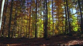 Bosque coloreado de la haya en otoño almacen de metraje de vídeo