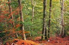 Bosque colorido de la haya imagen de archivo