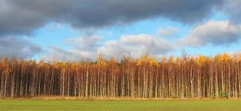 Bosque colorido de los árboles de abedul en otoño Fotografía de archivo