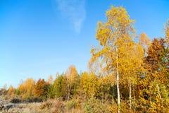Bosque colorido del otoño en un fondo del cielo azul Fotografía de archivo libre de regalías