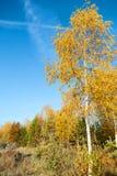 Bosque colorido del otoño en un fondo del cielo azul Fotos de archivo libres de regalías