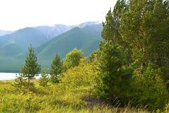 Bosque conífero Fotografía de archivo libre de regalías