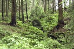 Bosque conífero Foto de archivo libre de regalías