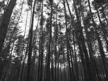 Bosque conífero Imágenes de archivo libres de regalías