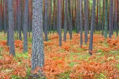 Bosque del pino en otoño fotos de archivo libres de regalías