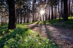 Bosque conífero con los rastros al final del día imagenes de archivo