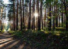 Bosque conífero con los rastros al final del día fotos de archivo libres de regalías