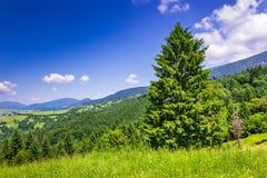 Bosque conífero de la montaña en buen tiempo del verano fotos de archivo