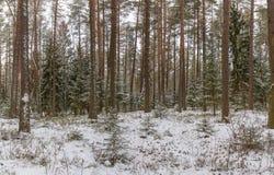 Bosque conífero del invierno Foto de archivo libre de regalías