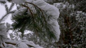 Bosque conífero del invierno fabulosamente hermoso almacen de video