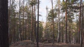 Bosque conífero del pino hermoso del paisaje en la puesta del sol reserva turística del lugar para la reconstrucción y el turismo metrajes
