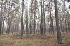 Bosque conífero del verano brillante Fotos de archivo