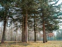 Bosque conífero en el fondo de una arboleda del abedul Imagen de archivo