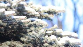 Bosque conífero en invierno almacen de video