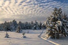 Bosque conífero en invierno Foto de archivo libre de regalías