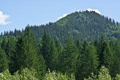 Bosque conífero en la montaña Foto de archivo libre de regalías