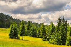 Bosque conífero en una cuesta de montaña fotos de archivo