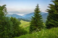Bosque conífero en una cuesta de montaña imagen de archivo