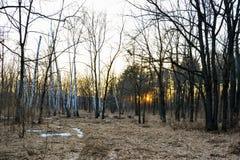 Bosque conífero iluminado por el sol de igualación en un día de primavera Puesta del sol fotos de archivo