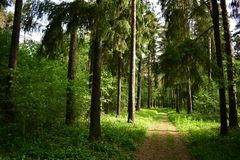 Bosque conífero Masted del pino, árboles de la picea cubiertos por el camino de la sombra fotos de archivo
