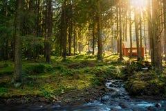 Bosque conífero soleado por la tarde del otoño foto de archivo