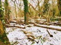 Bosque con caído o tajado abajo de los árboles cubiertos en nieve Foto de archivo libre de regalías