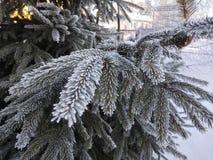 Bosque con el abeto en invierno con las agujas heladas Imágenes de archivo libres de regalías