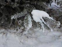 Bosque con el abeto en invierno con las agujas heladas Foto de archivo