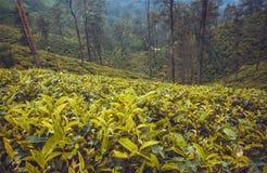 Bosque con las plantaciones de té en las colinas hermosas con los árboles y el borrachín del verde imagen de archivo libre de regalías