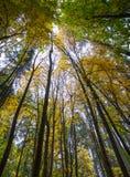 Bosque con los árboles altos en otoño Fotografía de archivo