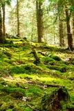 Bosque con los árboles caidos cubiertos grueso con el musgo Imagen de archivo